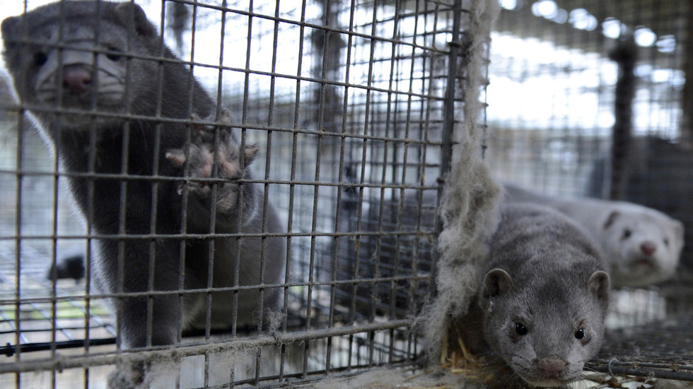 Over 3,000 mink dead from coronavirus at animal farm in Wisconsin