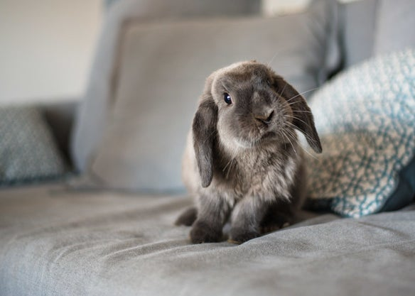 A fluffy bunny on a couch