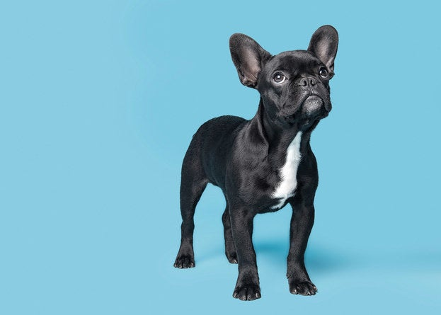 A french bulldog looking up